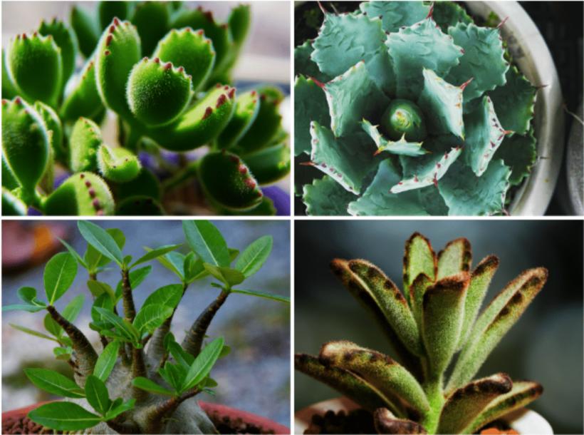 「夏型」のおすすめ多肉植物の品種4種
