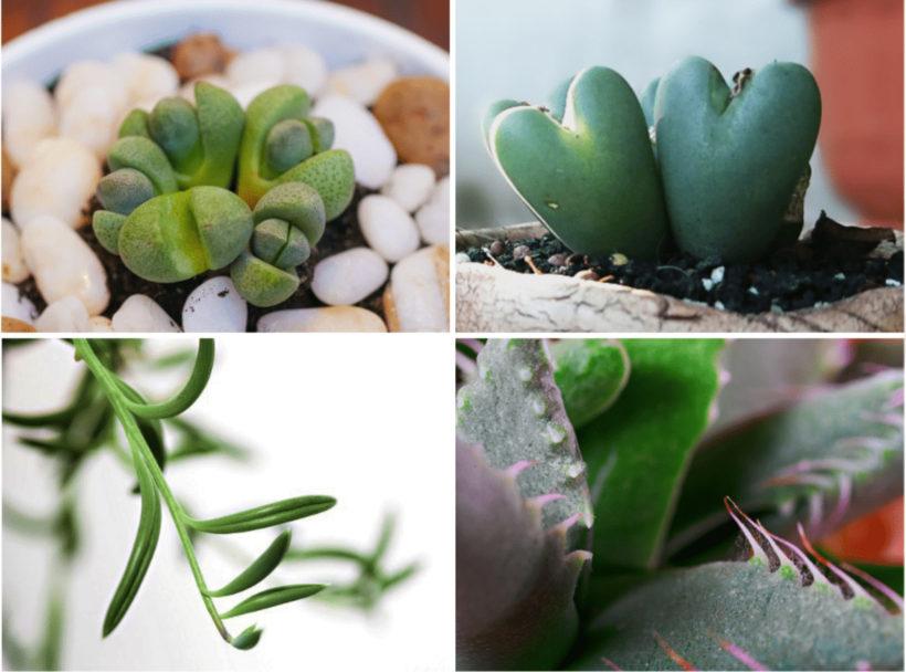 「冬型」のおすすめ多肉植物の品種4種